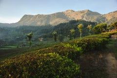 Schöne Teeplantage und -Berglandschaft bei Sonnenaufgang Stockfoto