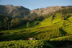 Schöne Teeplantage und -Berglandschaft bei Sonnenaufgang Stockfotografie