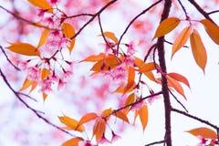 Schöne thailändische Kirschblüte stockbilder