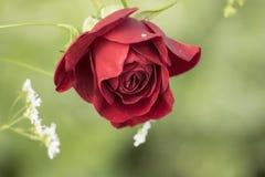 Schöne tiefrote Rose ist in der Blüte mit grünem Hintergrund I lizenzfreie stockfotografie