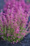 Schöne Tintenheide im Garten, Sommerzeit Lizenzfreie Stockbilder
