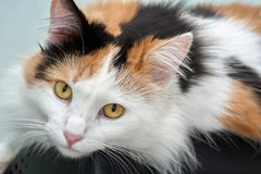 Schöne tricolored Katze untersucht die Kamera lizenzfreie stockbilder