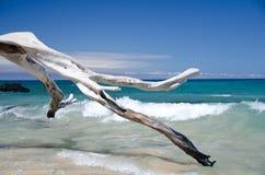 Schöne trockene Bäume und Brandung bei Puako setzen, große Insel, Hawaii auf den Strand Lizenzfreies Stockfoto