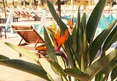Schöne tropische Blume auf dem Hintergrund des Pools Stockbilder