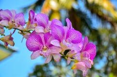 Schöne tropische purpurrote Orchideen (Orchidaceae - Phalaenopsis) Lizenzfreies Stockfoto