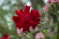 Schöne tropische rote Blume Nahaufnahme mit Bokeh stockfotografie