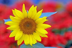Schöne tropische Sonnenblume stockbilder