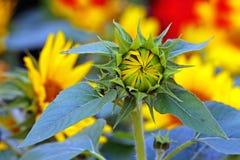 Schöne tropische Sonnenblumenknospe lizenzfreie stockfotografie