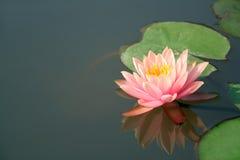 Schöne tropische Wasserlilie Lizenzfreies Stockfoto