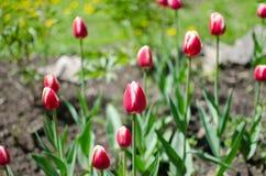 Schöne tulipans Stockfotografie