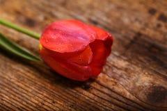 Schöne Tulpe Stockfoto