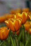 Schöne Tulpe Stockbild