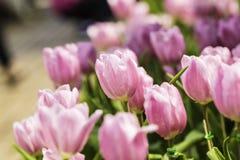 Schöne Tulpe Lizenzfreie Stockfotos