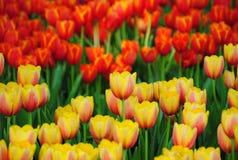 Schöne Tulpe Lizenzfreies Stockfoto