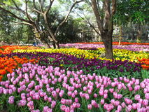 Schöne Tulpe Lizenzfreies Stockbild