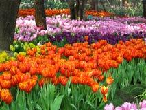 Schöne Tulpe Stockfotos