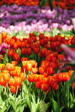 Schöne Tulpe Lizenzfreie Stockbilder
