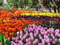 Schöne Tulpe Stockbilder