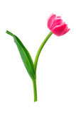 Schöne Tulpe getrennt auf Weiß stockbild