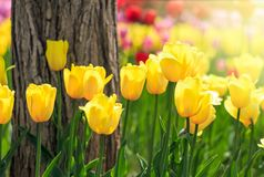 Schöne Tulpen Lizenzfreies Stockbild