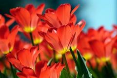Schöne Tulpen Lizenzfreie Stockfotografie