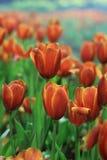 Schöne Tulpen Stockfoto