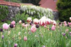 Schöne Tulpen 4 Stockbilder