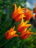 Schöne Tulpen Stockfotografie