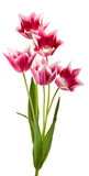Schöne Tulpen Stockbild