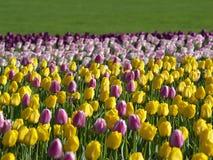 Schöne Tulpen im Frühjahr Stockfotografie