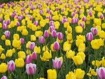 Schöne Tulpen im Frühjahr Lizenzfreie Stockfotos