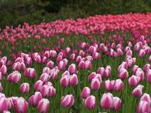 Schöne Tulpen im Frühjahr Lizenzfreies Stockfoto