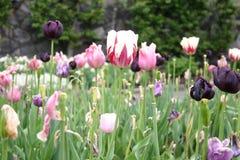 Schöne Tulpen im Garten Stockfoto