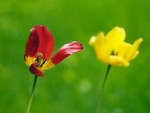 Schöne Tulpen im Garten Lizenzfreies Stockfoto
