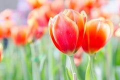 Schöne Tulpen im Tulpenfeld mit grünem Blatthintergrund am Winter- oder Frühlingstag Stockbild
