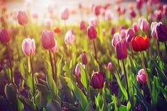 Schöne Tulpen wachsen in der Reinigung stockfoto