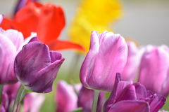 Schöne Tulpenblüte vieler Farben Stockfotografie