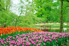 Schöne Tulpenblumen in Keukenhof-Garten in Holland Bunte Blumen im Frühjahr stockfotos