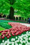 Schöne Tulpenblumen in Keukenhof-Garten in Holland Bunte Blumen im Frühjahr lizenzfreie stockfotos