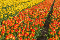 Schöne Tulpenfelder in Lisse in den Niederlanden Lizenzfreie Stockfotografie