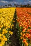 Schöne Tulpenfelder in Lisse in den Niederlanden Stockfoto
