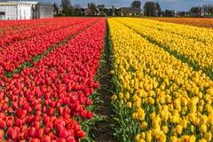 Schöne Tulpenfelder in Lisse in den Niederlanden Stockbild
