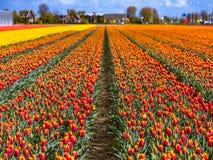 Schöne Tulpenfelder in Lisse in den Niederlanden Lizenzfreie Stockfotos