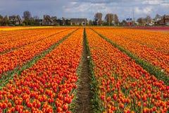 Schöne Tulpenfelder in Lisse in den Niederlanden Stockbilder