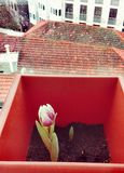 Schöne Tulpenkeimung lizenzfreies stockfoto