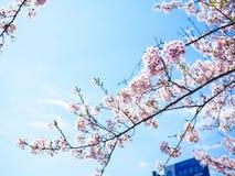 Schöne und colorfull Kirschblüte, Kirschblüte stockbild