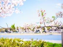 Schöne und colorfull Kirschblüte, Kirschblüte lizenzfreie stockfotografie