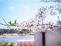 Schöne und colorfull Kirschblüte, Kirschblüte lizenzfreies stockbild