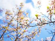 Schöne und colorfull Kirschblüte, Kirschblüte lizenzfreie stockbilder