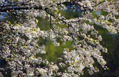 Schöne und colorfull Kirschblüte, Kirschblüte Frühling mit nettem blauem Himmel Grüner Hintergrund lizenzfreies stockfoto